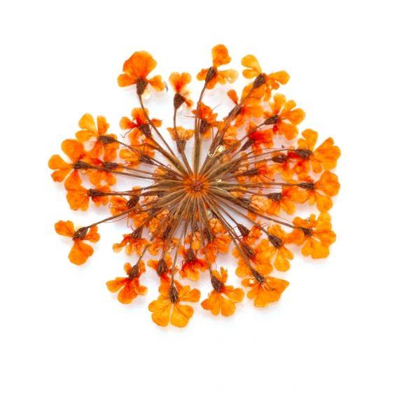 Fiori Micro Pressati - Arancione